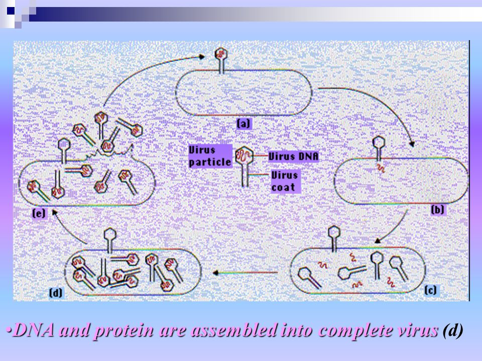 DNA and protein are assembled into complete virusDNA and protein are assembled into complete virus (d)