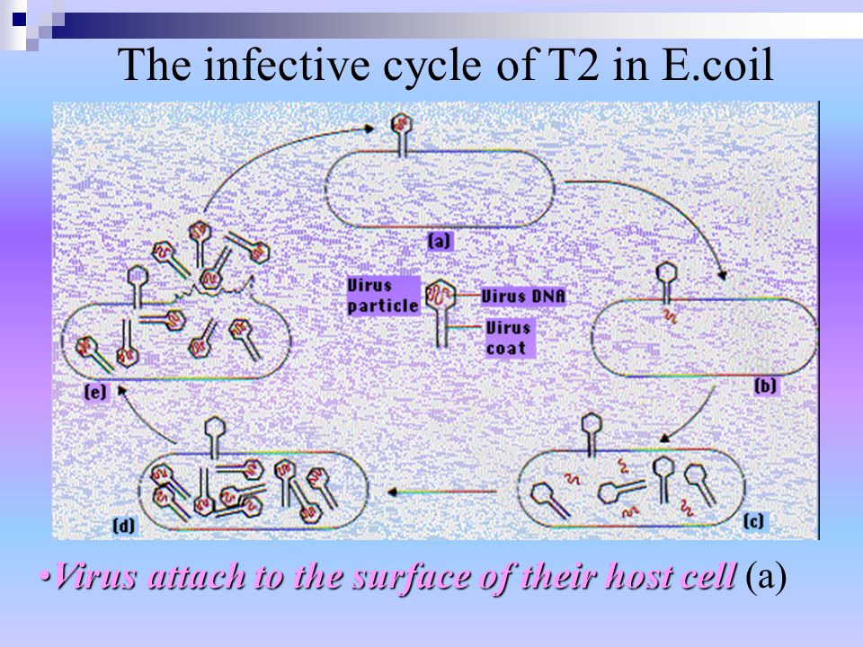 Virus attach to the surface of their host cellVirus attach to the surface of their host cell (a) The infective cycle of T2 in E.coil