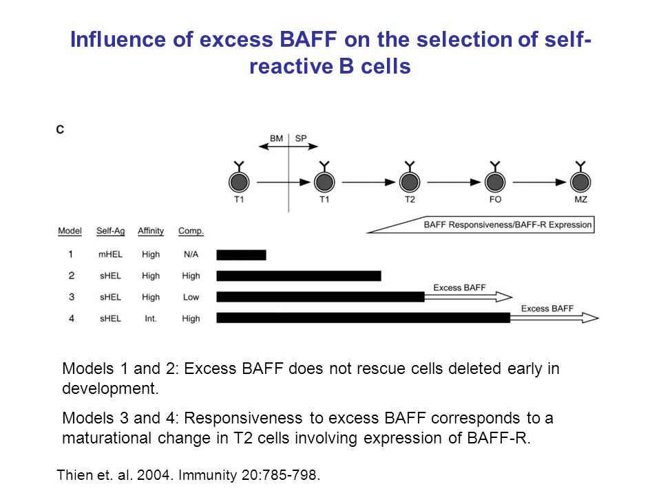 Models 1 and 2: Excess BAFF does not rescue cells deleted early in development. Models 3 and 4: Responsiveness to excess BAFF corresponds to a maturat