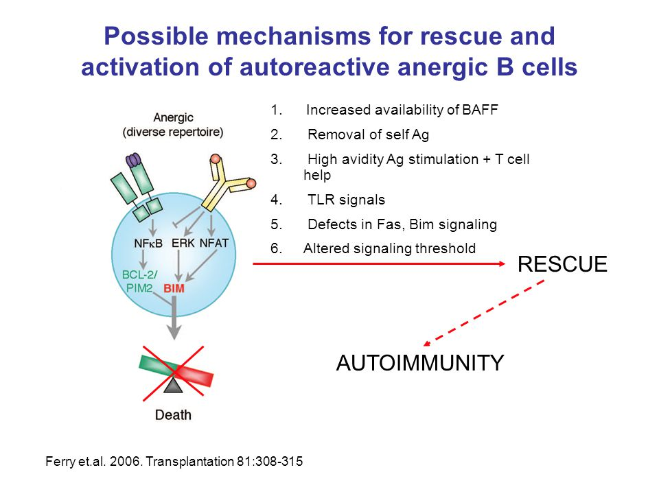 Possible mechanisms for rescue and activation of autoreactive anergic B cells 1. Increased availability of BAFF 2. Removal of self Ag 3. High avidity