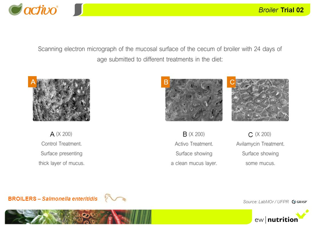 Trial 2 Broiler Trial 03 Source: LabMOr / UFPR Use of Activo in the control of clostridiosis and eimeriosis in broilers BROILERS – CLOSTRIDIOSIS AND EIMERIOSIS T1 CONTROL TREATMENT Diet without antibiotics inclusion T2 AVILAMYCIN TREATMENT Diet with Avilamycin (10 ppm) inclusion T3 ACTIVO TREATMENT Diet with Activo (100 ppm) inclusion