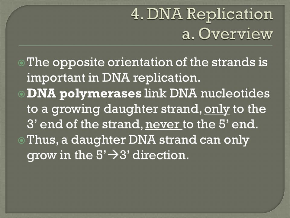  The opposite orientation of the strands is important in DNA replication.  DNA polymerases link DNA nucleotides to a growing daughter strand, only t