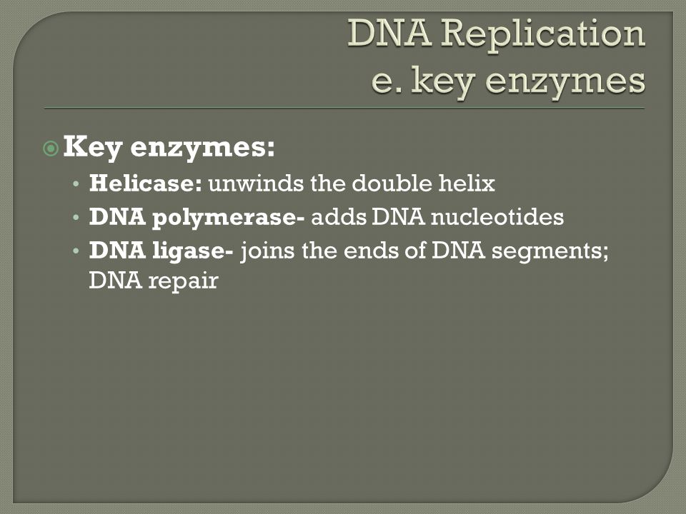  Key enzymes: Helicase: unwinds the double helix DNA polymerase- adds DNA nucleotides DNA ligase- joins the ends of DNA segments; DNA repair