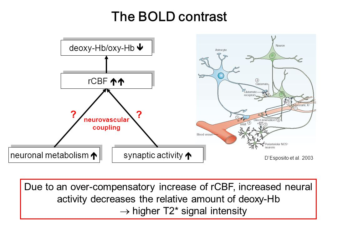 The BOLD contrast synaptic activity  neuronal metabolism  neurovascular coupling D'Esposito et al. 2003 rCBF  deoxy-Hb/oxy-Hb  Due to an over-com