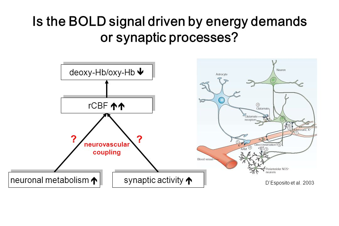 Is the BOLD signal driven by energy demands or synaptic processes.