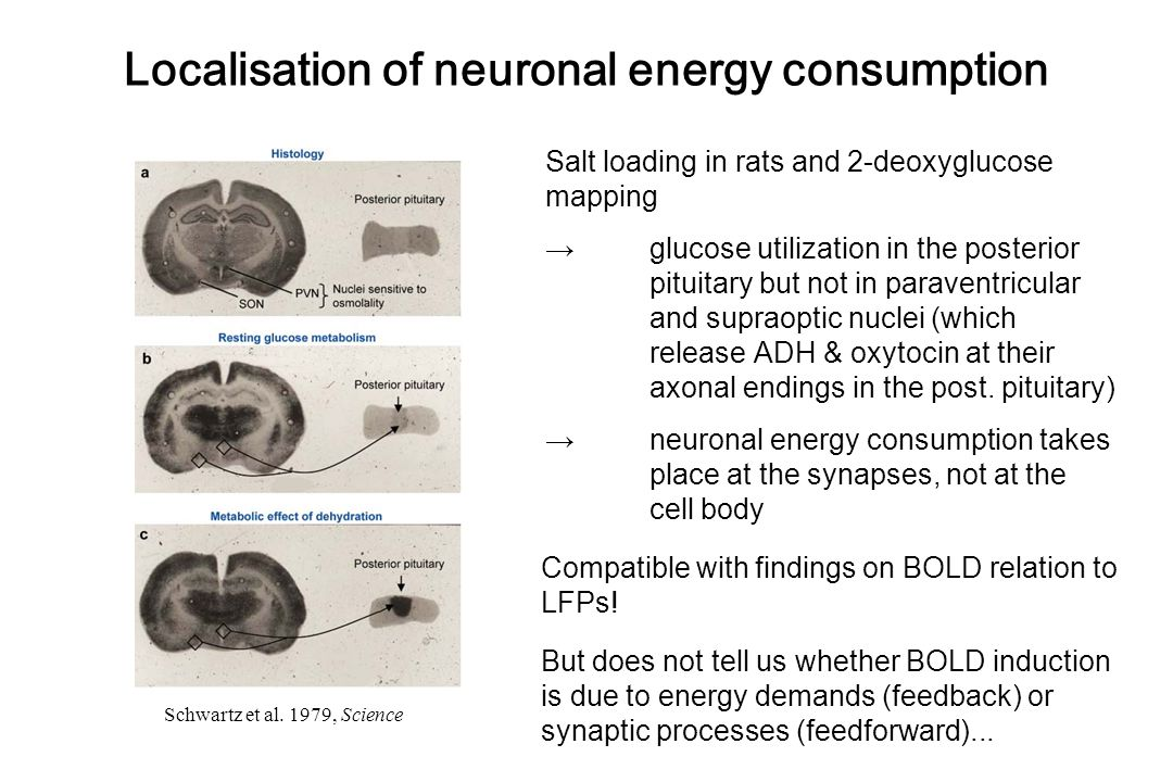 Schwartz et al. 1979, Science Localisation of neuronal energy consumption Salt loading in rats and 2-deoxyglucose mapping → glucose utilization in the