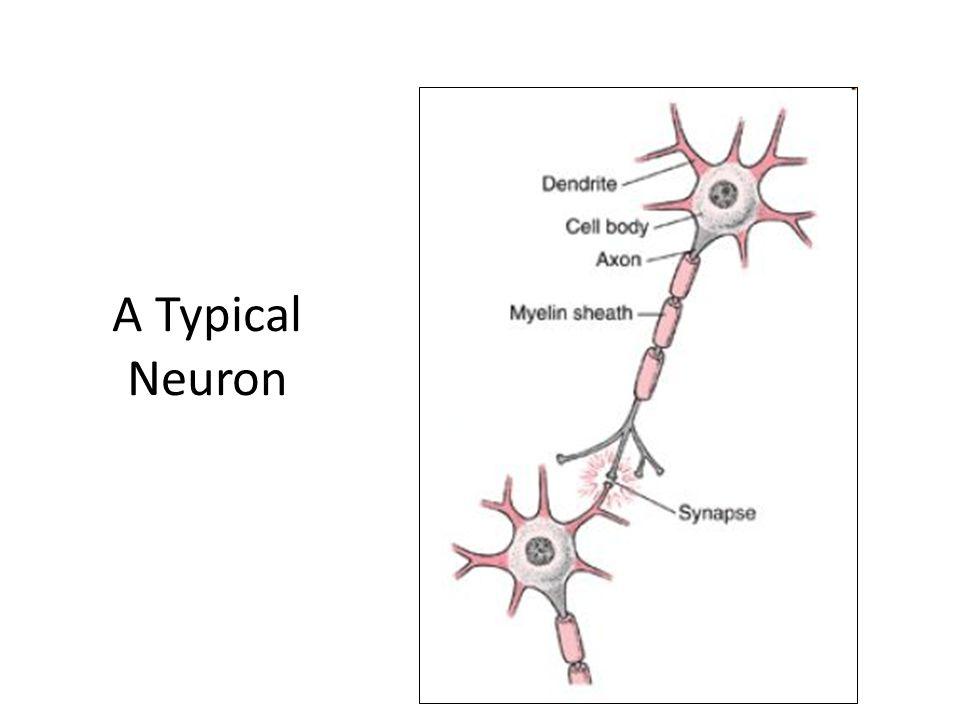 A Typical Neuron