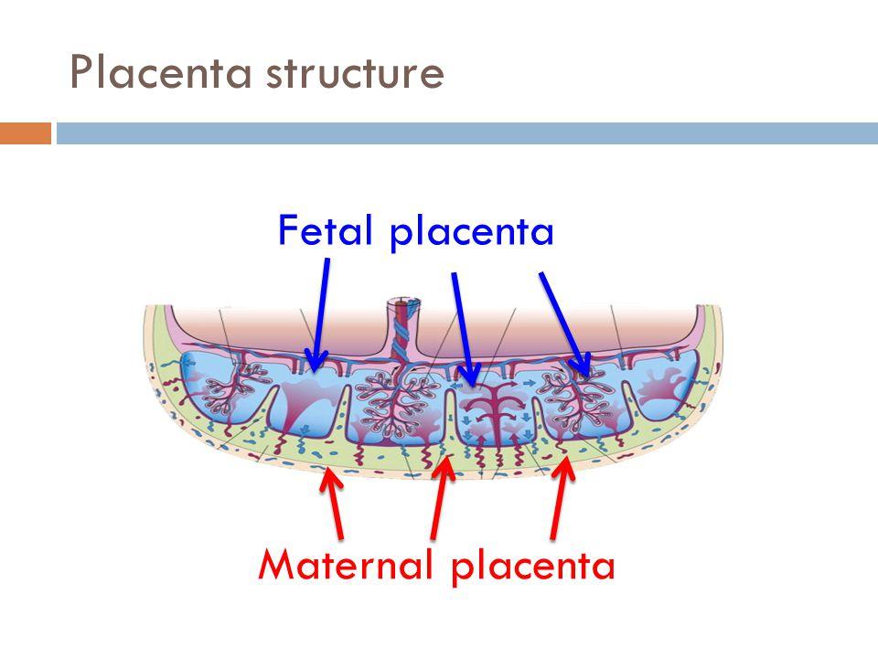 Placenta structure Fetal placenta Maternal placenta