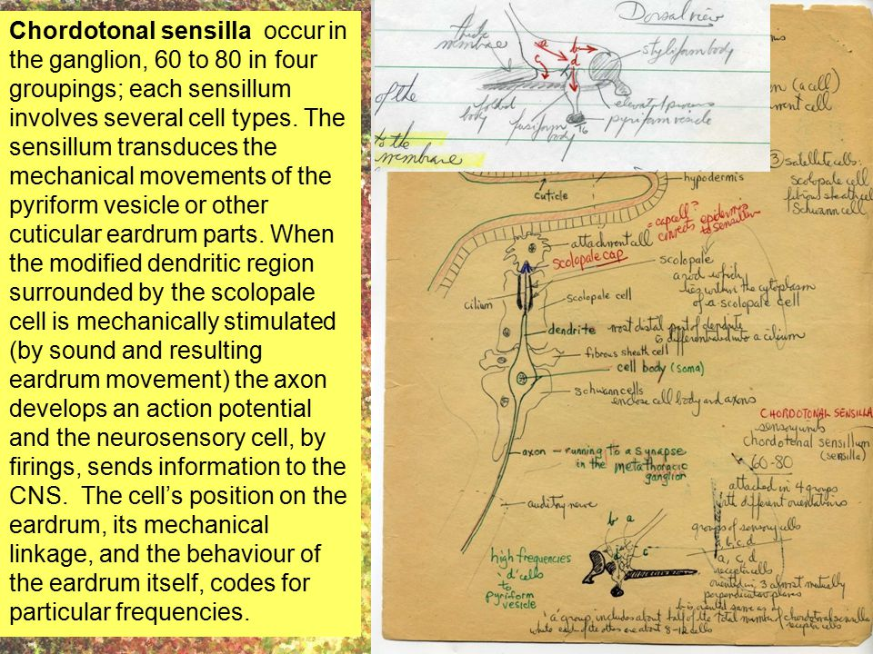 Chordotonal sensilla occur in the ganglion, 60 to 80 in four groupings; each sensillum involves several cell types. The sensillum transduces the mecha