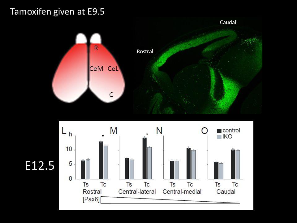 R C CeM CeL Rostral Caudal Tamoxifen given at E9.5 E12.5