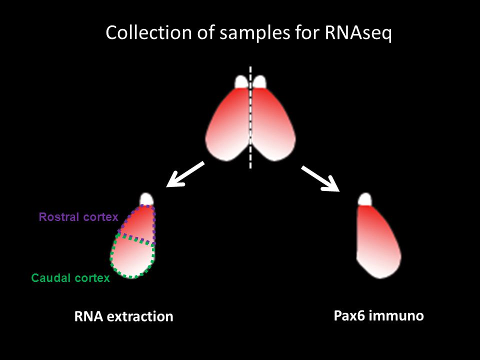 Rostral cortex Caudal cortex RNA extraction Pax6 immuno Collection of samples for RNAseq