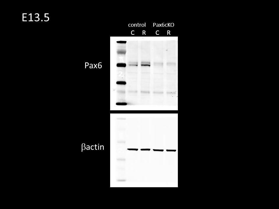 CR CR controlPax6cKO E13.5 Pax6  actin