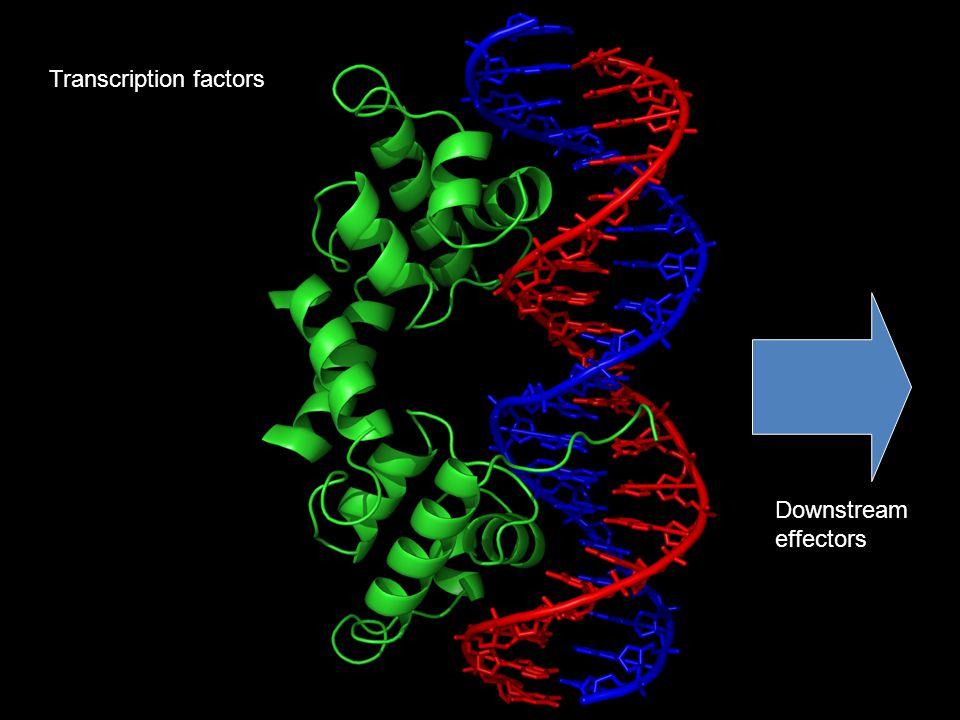 Transcription factors Downstream effectors