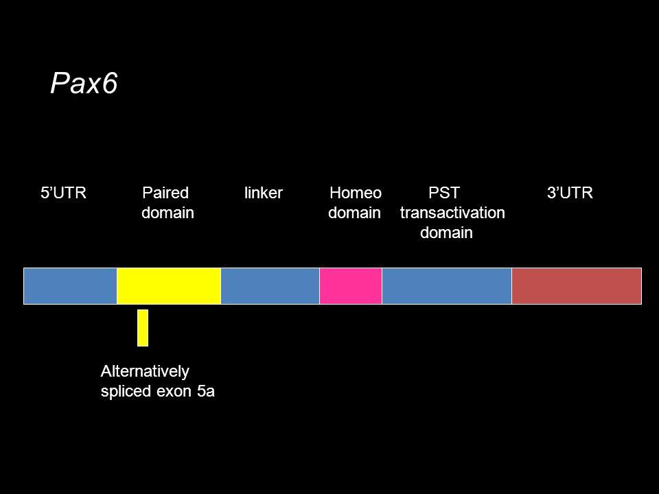 Paired domain Homeo domain Pax6