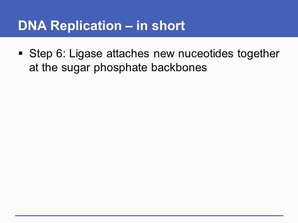 DNA Replication – in short  Step 6: Ligase attaches new nuceotides together at the sugar phosphate backbones