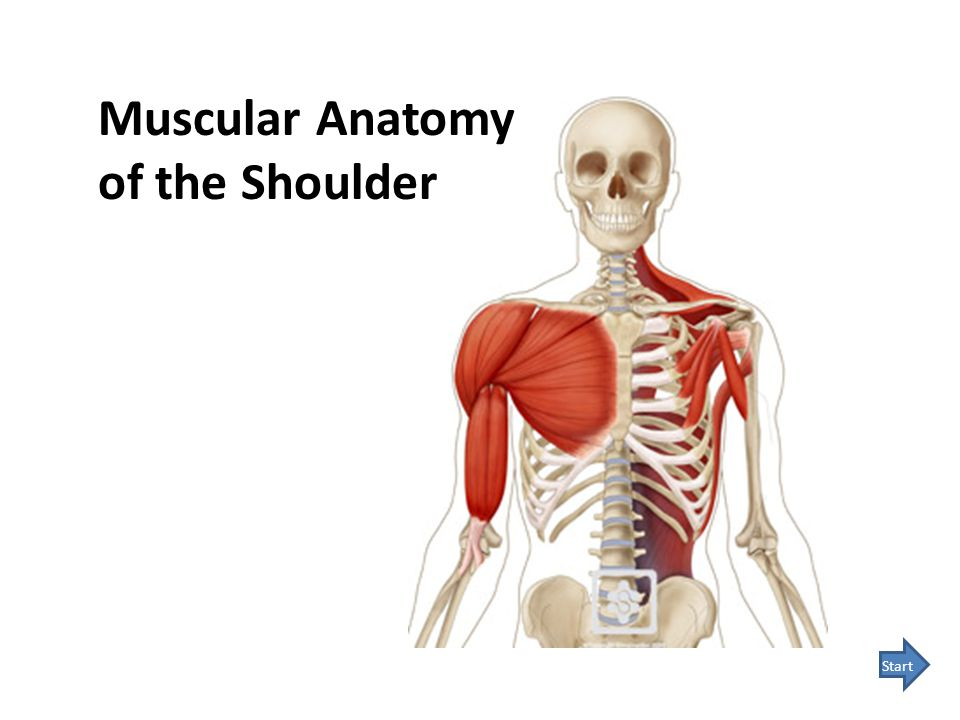 Muscular Anatomy of the Shoulder Start