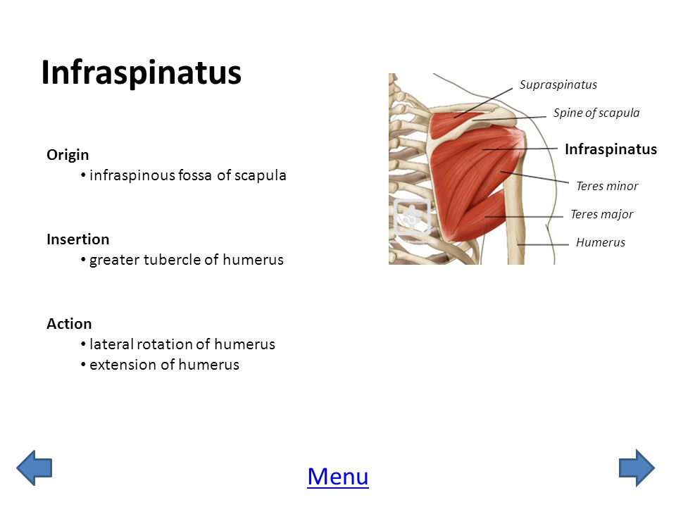 Infraspinatus Origin infraspinous fossa of scapula Insertion greater tubercle of humerus Action lateral rotation of humerus extension of humerus Spine of scapula Supraspinatus Teres minor Teres major Humerus Infraspinatus Menu