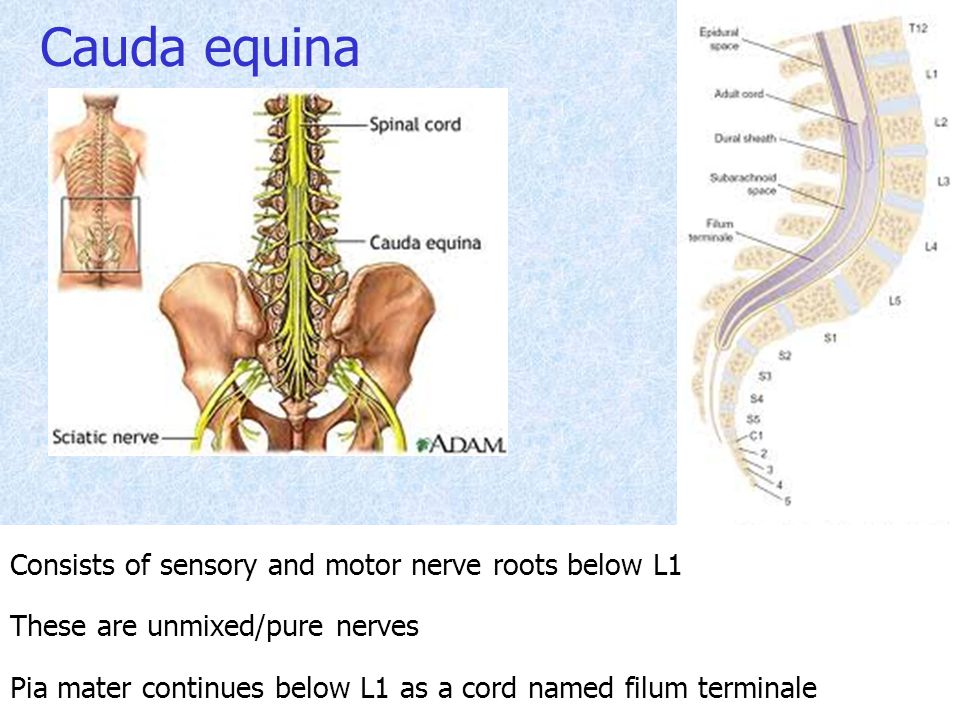 Cauda equina Consists of sensory and motor nerve roots below L1 These are unmixed/pure nerves Pia mater continues below L1 as a cord named filum termi