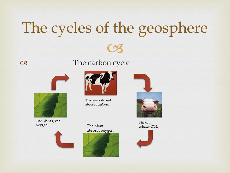   The carbon cycle The cycles of the geosphere The cow eats and absorbs carbon.