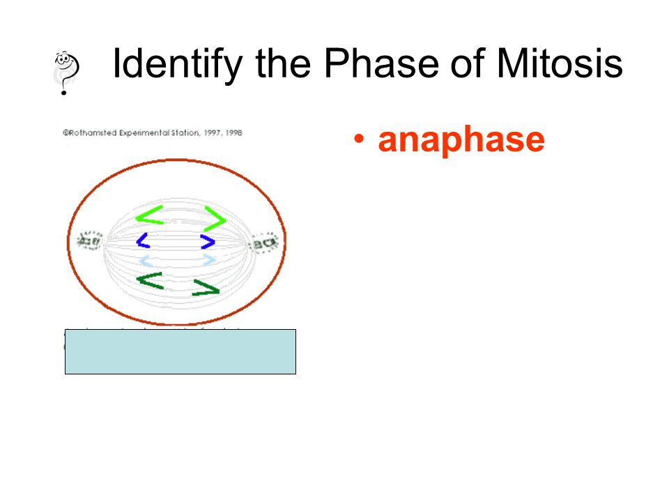 Identify the Phase of Mitosis anaphase