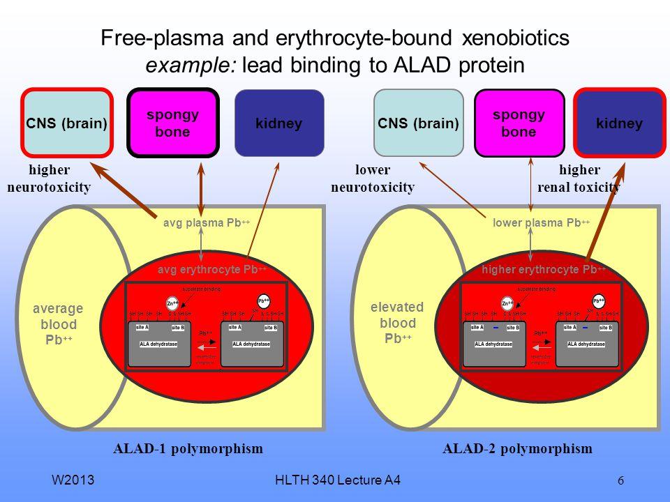 HLTH 340 Lecture A4W2013 5 Free-plasma and erythrocyte-bound xenobiotics example: lead binding to ALAD protein plasma Pb ++ erythrocyte Pb ++ blood Pb