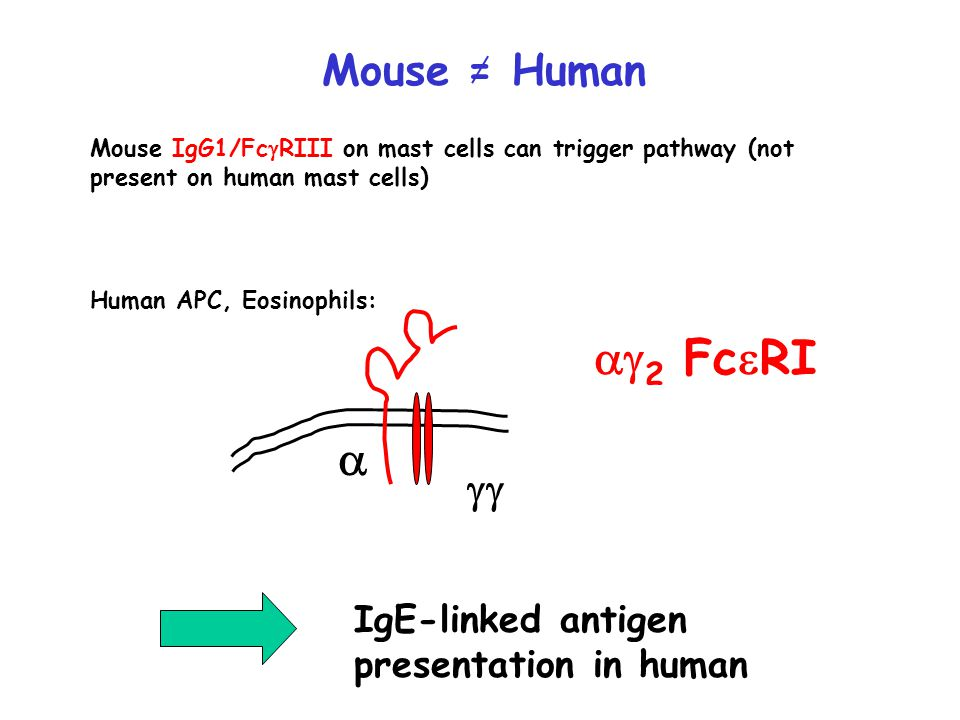 Mouse = Human Mouse IgG1/Fc  RIII on mast cells can trigger pathway (not present on human mast cells) Human APC, Eosinophils:    2 Fc  RI IgE-linked antigen presentation in human