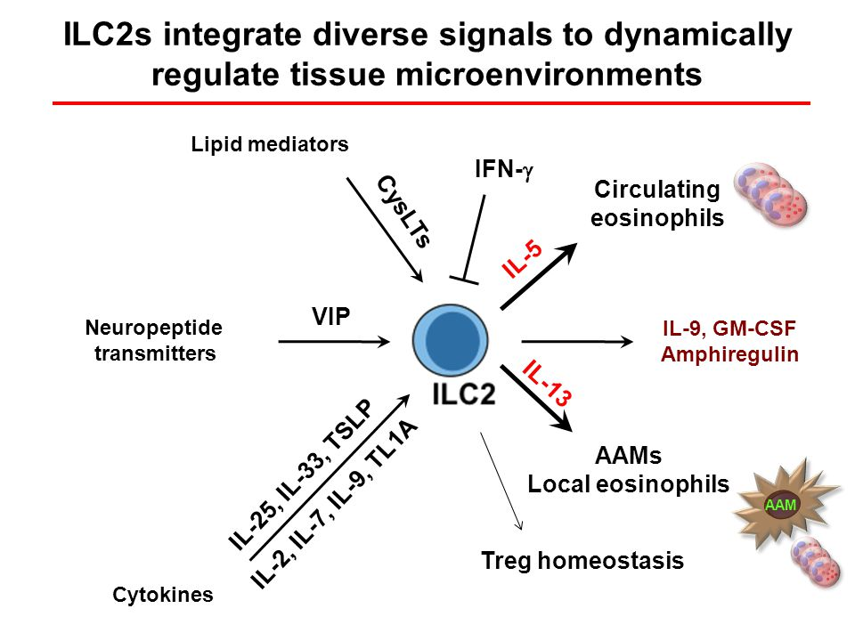 ILC2s integrate diverse signals to dynamically regulate tissue microenvironments IL-25, IL-33, TSLP IL-13 VIP Neuropeptide transmitters IL-5 Circulating eosinophils AAMs Local eosinophils CysLTs IL-2, IL-7, IL-9, TL1A IL-9, GM-CSF Amphiregulin Cytokines Lipid mediators Treg homeostasis IFN-  AAM