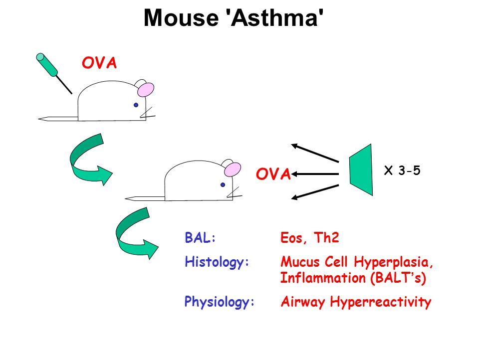 Mouse Asthma OVA X 3-5 BAL: Eos, Th2 Histology: Mucus Cell Hyperplasia, Inflammation (BALT's) Physiology: Airway Hyperreactivity