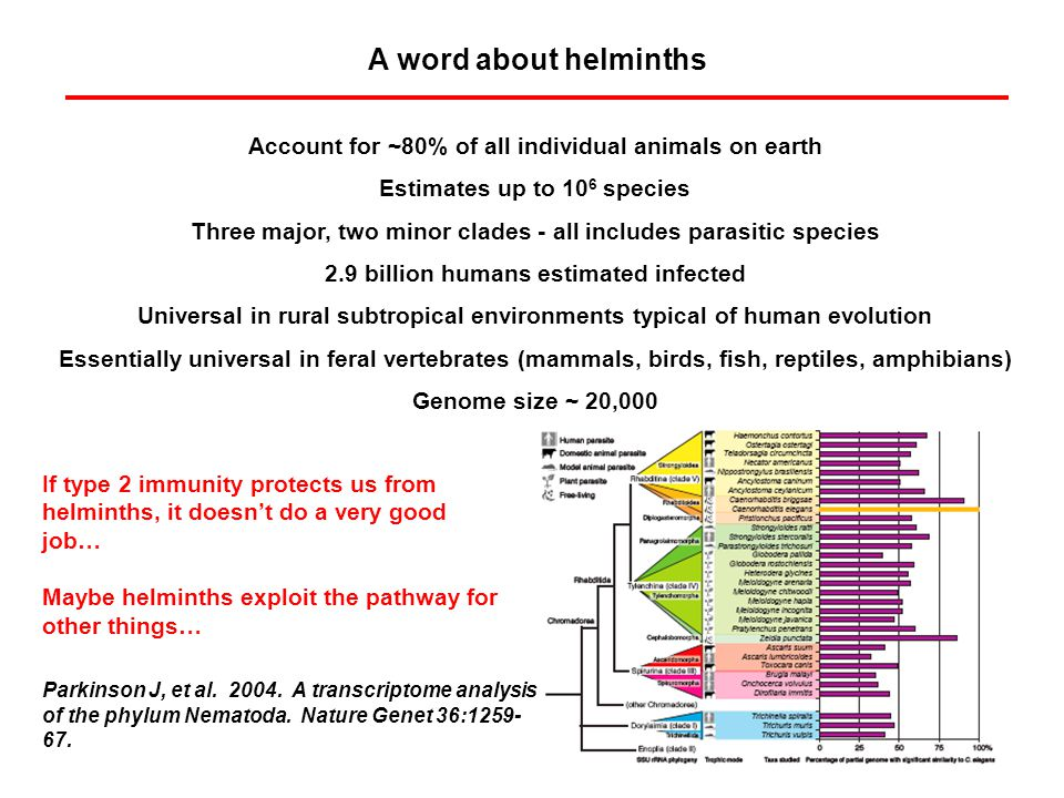 A word about helminths Account for ~80% of all individual animals on earth Estimates up to 10 6 species Three major, two minor clades - all includes parasitic species 2.9 billion humans estimated infected Universal in rural subtropical environments typical of human evolution Essentially universal in feral vertebrates (mammals, birds, fish, reptiles, amphibians) Genome size ~ 20,000 Parkinson J, et al.