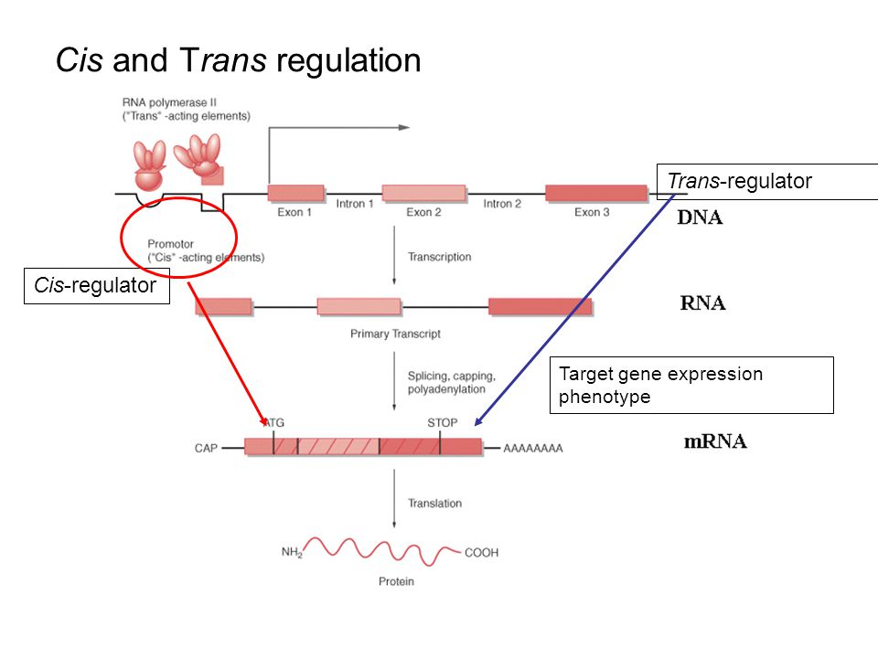 Cis and Trans regulation Target gene expression phenotype Cis-regulator Trans-regulator