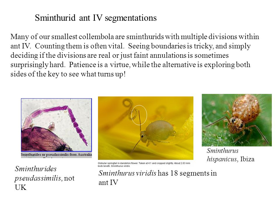 Sminthurid ant IV segmentations Many of our smallest collembola are sminthurids with multiple divisions within ant IV.