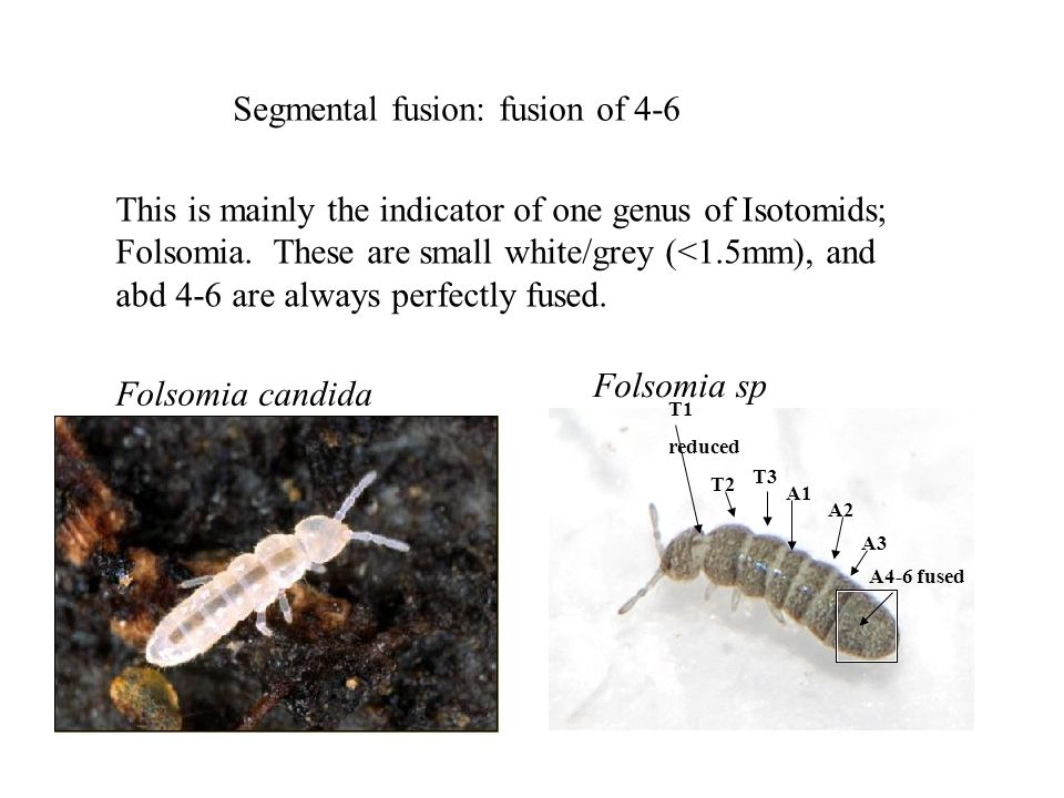 Segmental fusion: fusion of 4-6 This is mainly the indicator of one genus of Isotomids; Folsomia.