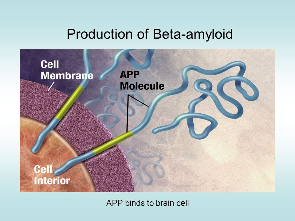 Production of Beta-amyloid APP binds to brain cell