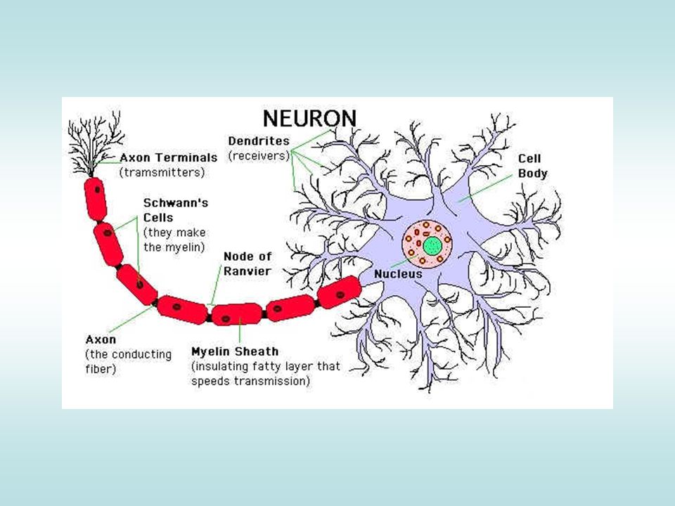 What Are Neurofibrillary Tangles.