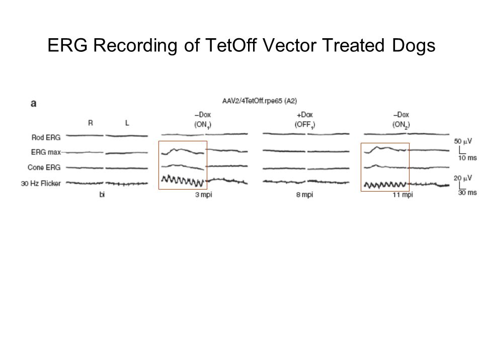 ERG Recording of TetOff Vector Treated Dogs