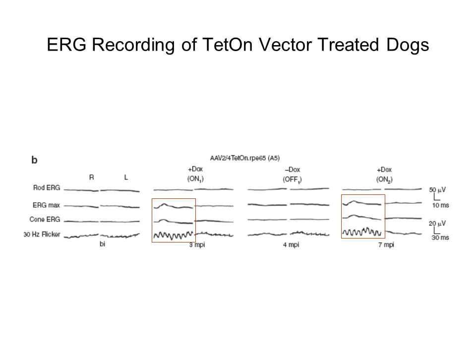 ERG Recording of TetOn Vector Treated Dogs