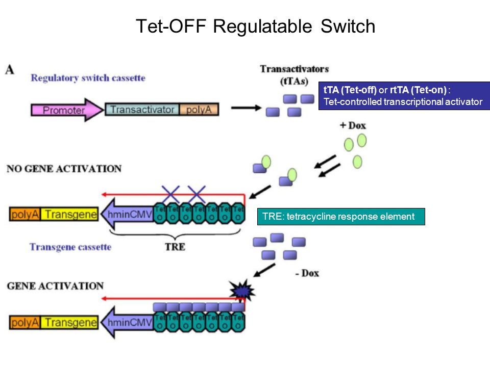 Tet-OFF Regulatable Switch tTA (Tet-off) or rtTA (Tet-on) : Tet-controlled transcriptional activator TRE: tetracycline response element
