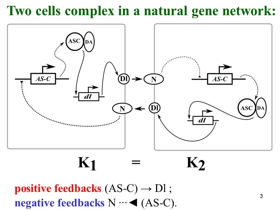 3 negative feedbacks N ···◄ (AS-C). positive feedbacks (AS-C) → Dl ; Two cells complex in a natural gene network: