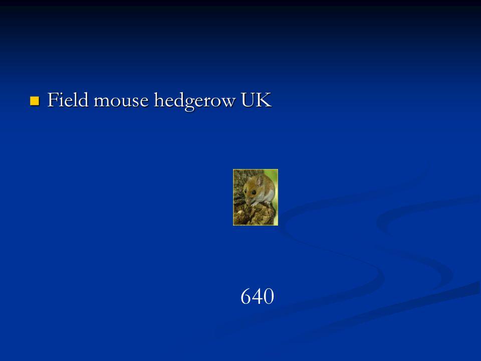 Field mouse hedgerow UK Field mouse hedgerow UK 640