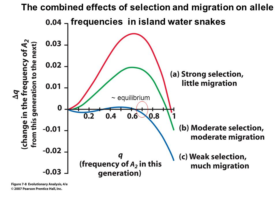 The combined effects of selection and migration on allele frequencies in island water snakes ~ equilibrium