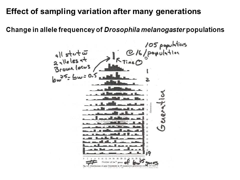 Effect of sampling variation after many generations Change in allele frequencey of Drosophila melanogaster populations