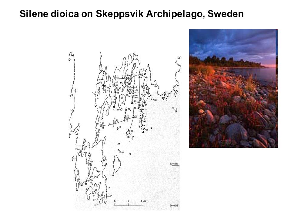 Silene dioica on Skeppsvik Archipelago, Sweden
