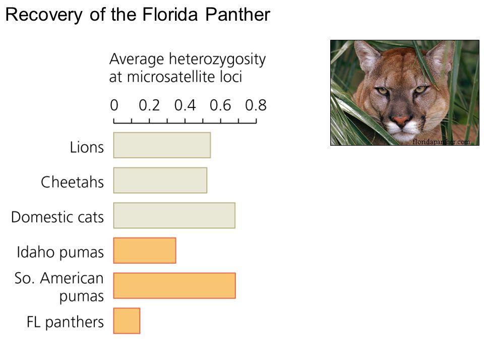 Recovery of the Florida Panther floridapanther.com