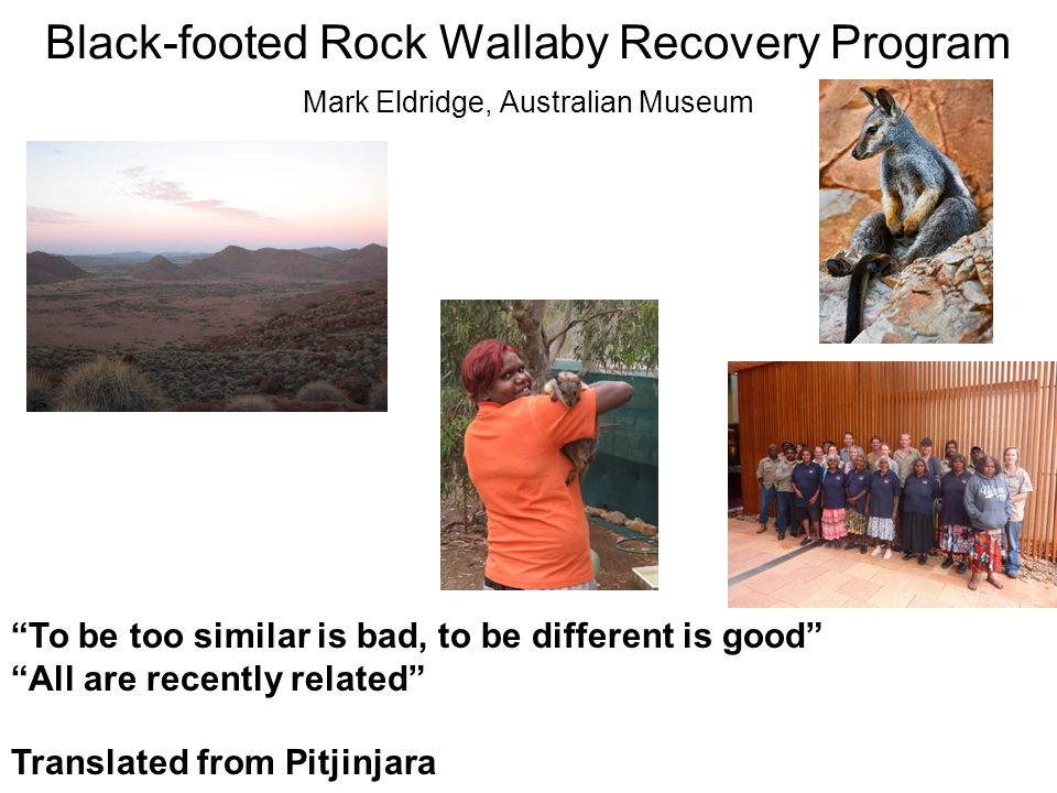 Black-footed Rock Wallaby Recovery Program Mark Eldridge, Australian Museum To be too similar is bad, to be different is good All are recently related Translated from Pitjinjara