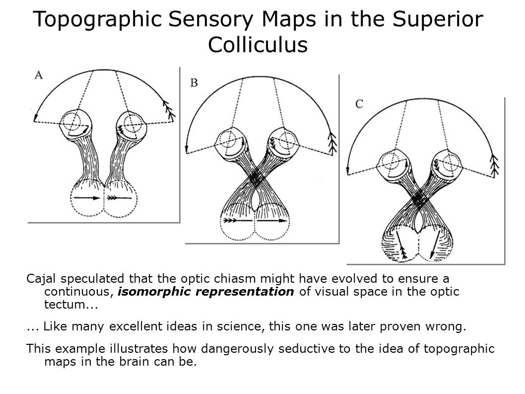 Topographic Sensory Maps in the Superior Colliculus Cajal speculated that the optic chiasm might have evolved to ensure a continuous, isomorphic repre