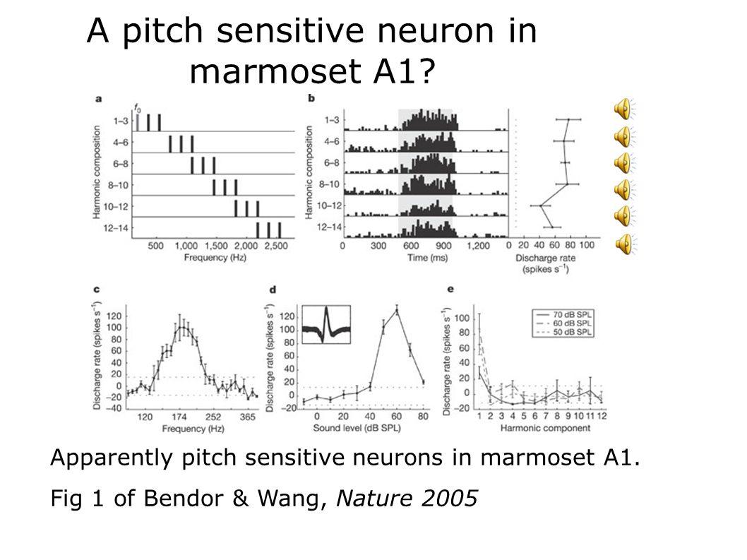 A pitch sensitive neuron in marmoset A1? Apparently pitch sensitive neurons in marmoset A1. Fig 1 of Bendor & Wang, Nature 2005