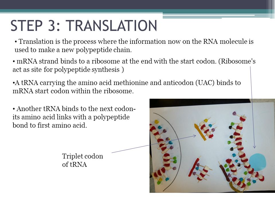 STEP 3: TRANSLATION Translation is the process where the information now on the RNA molecule is used to make a new polypeptide chain. mRNA strand bind