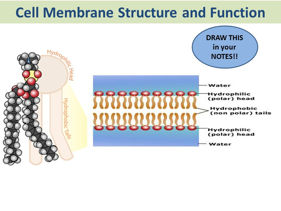 Cell Membrane Structure and Function The cell membrane acts as a fluid… – It is not rigid – Proteins and phospholipids can move around The cell membrane is a mosaic… – Many different parts make up the cell membrane
