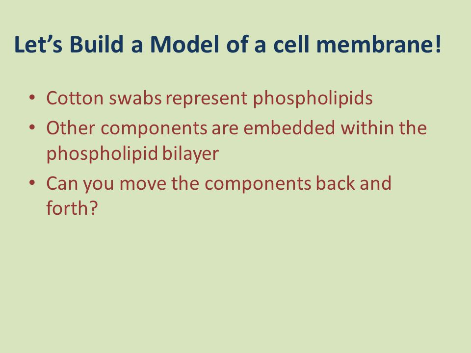 Let's Build a Model of a cell membrane! Cotton swabs represent phospholipids Other components are embedded within the phospholipid bilayer Can you mov