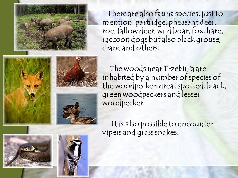 There are also fauna species, just to mention: partridge, pheasant deer, roe, fallow deer, wild boar, fox, hare, raccoon dogs but also black grouse, crane and others.